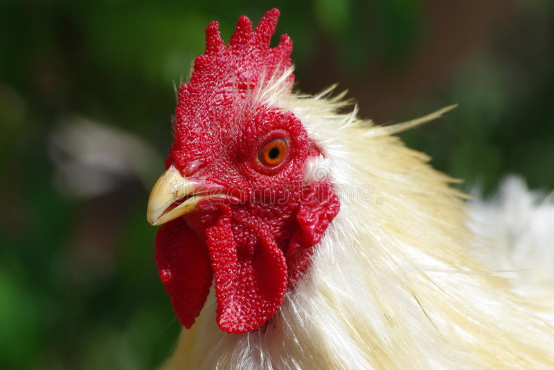 White chicken head royalty free stock images