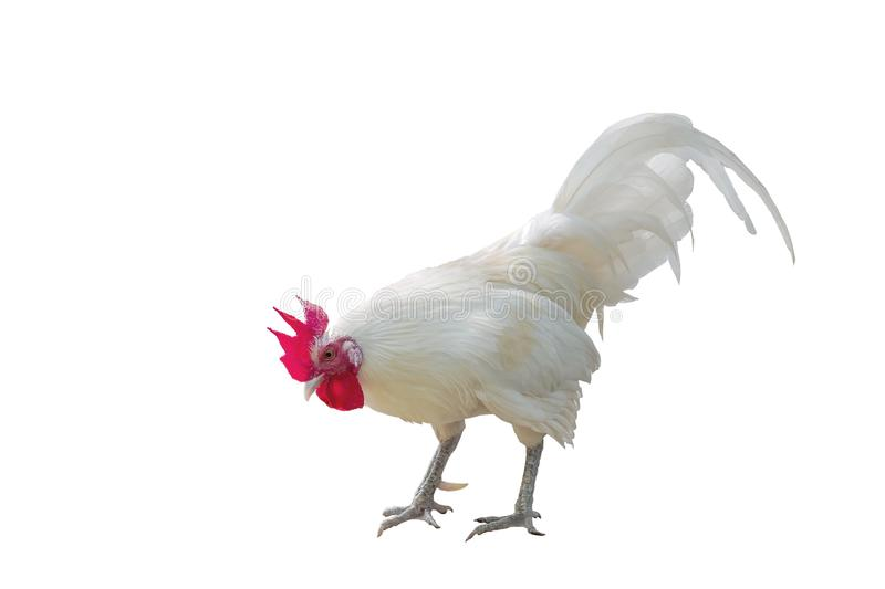 White chicken with red cockscomb on white background.  stock photo