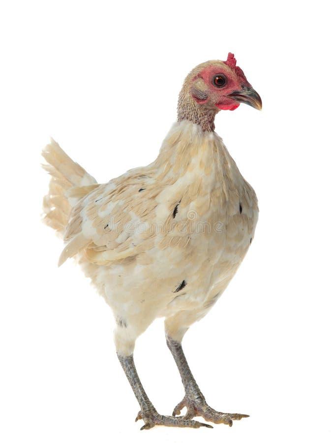 White chicken walking