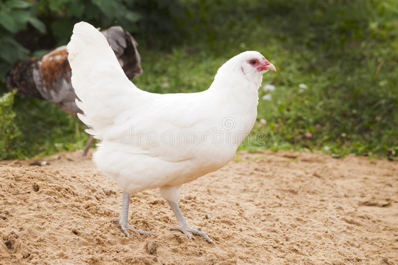 White chicken walking around the bird yard. Not blurred green beige background royalty free stock photos