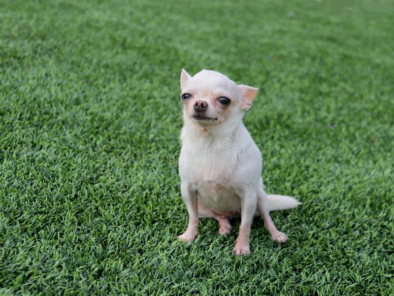 White Chihuahua dog portrait look at the camera with her big eyes. royalty free stock photography