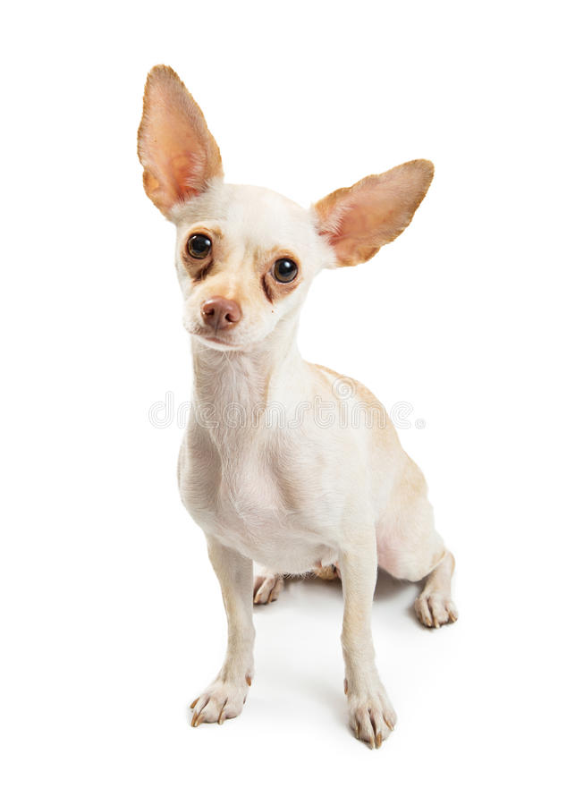 White Chihuahua Dog With Tear Stains. White color Chihuahua dog with red tear stains under eyes sitting down and looking forward royalty free stock image