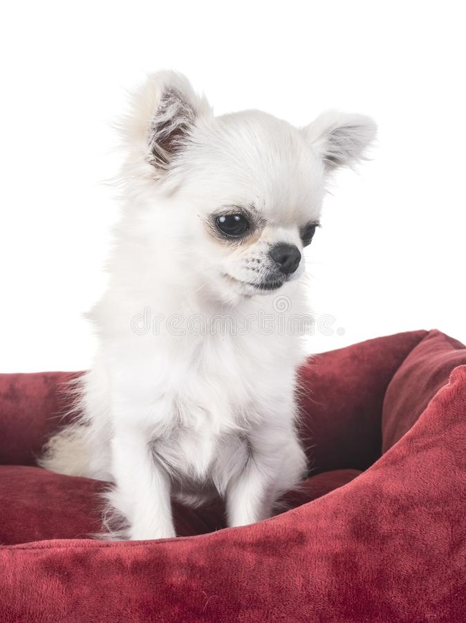 Chihuahua in cushion stock photos