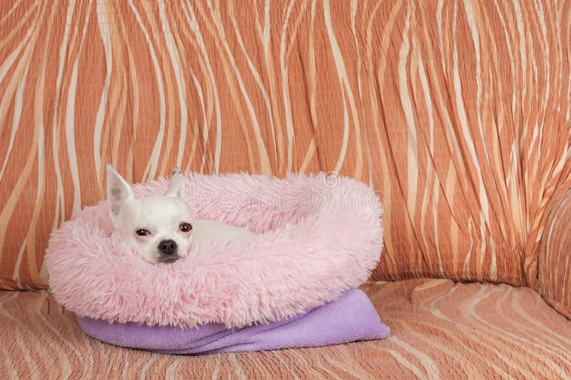 White Chihuahua lying on soft dog bed from hollow fiber on sofa, 5 years old female stock photo