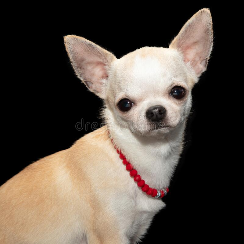 White Chihuahua wearing red necklace stock images