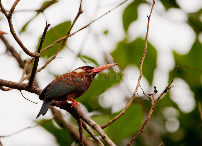 White-chinned Jacamar Royalty Free Stock Images