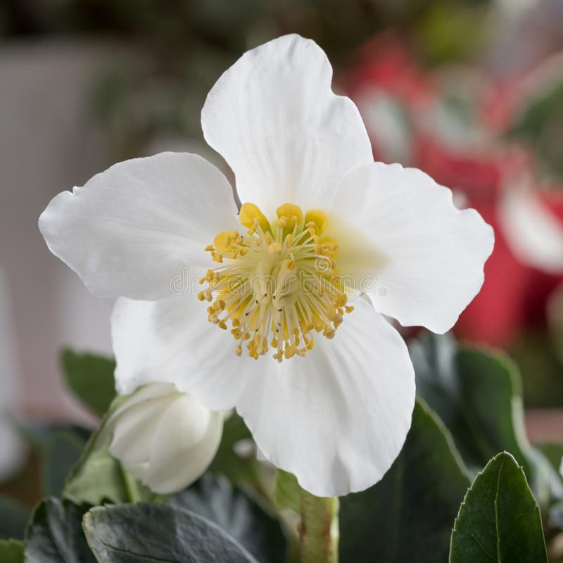 White christmas rose flower with soft background stock photos