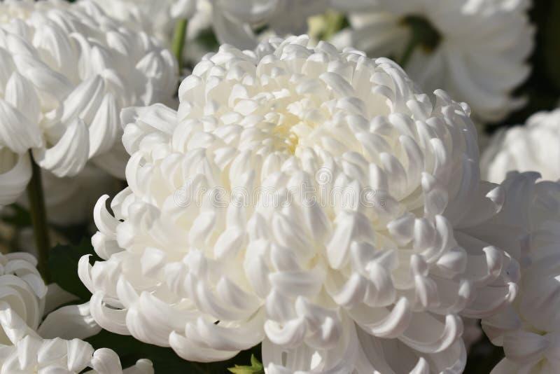 White chrusanthemum royalty free stock photos