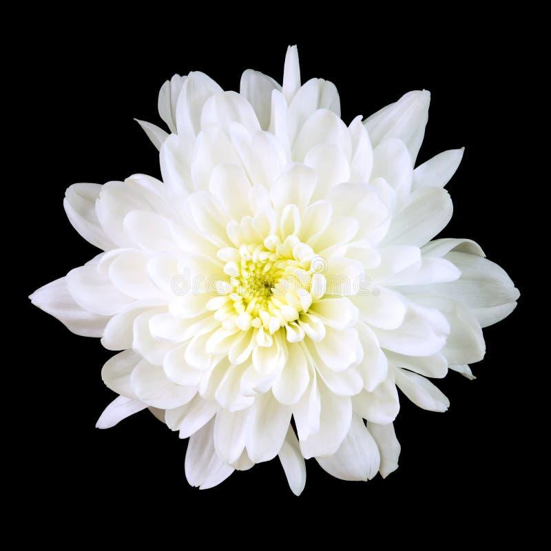 White Chrysanthemum royalty free stock photography