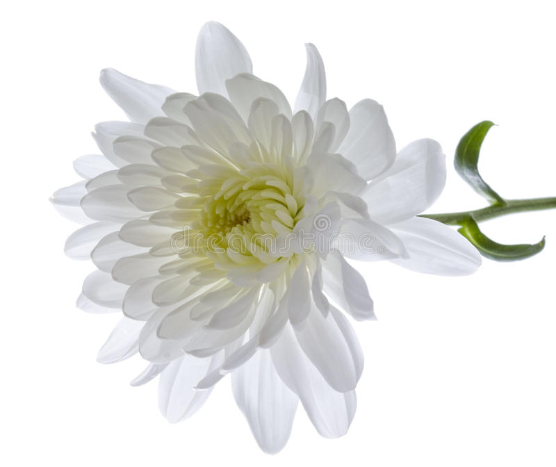 White Chrysanthemum. stock photos