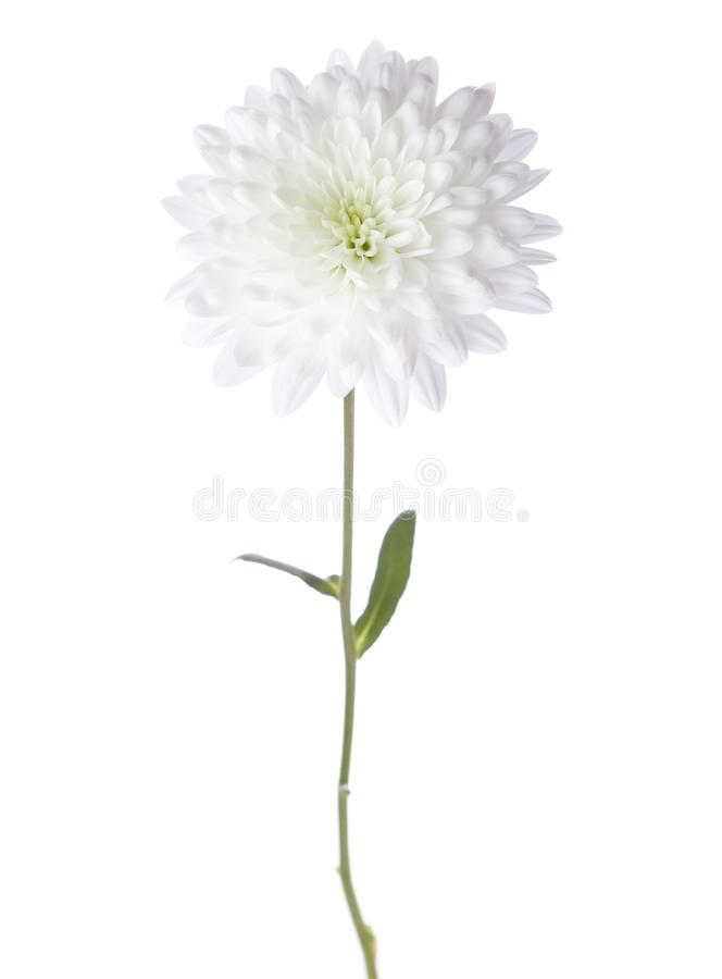 Free White Chrysanthemum Stock Photography - 55065182
