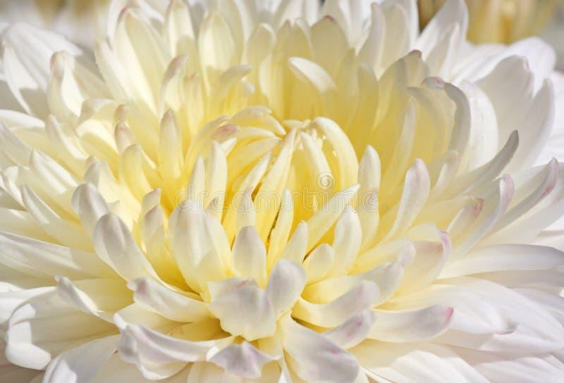White chrysanthemum stock photo