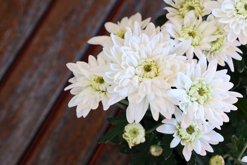 White Chrysanthemum. The close up shot of the beautiful white chrysanthemum flowers royalty free stock image