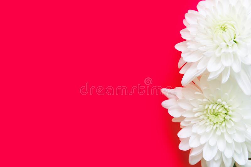 White chrysanthemum daisy flowers on magenta pink background. Wedding engagement romantic concept. Birthday Valentines mothers day royalty free stock image