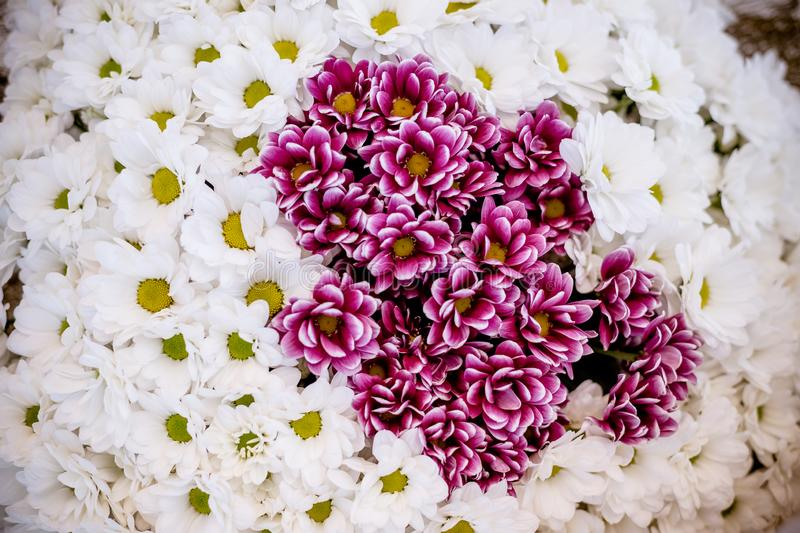 White Chrysanthemum Flower background.Bouquet of red-white chrysanthemums like tiny daisies floral print pattern royalty free stock images