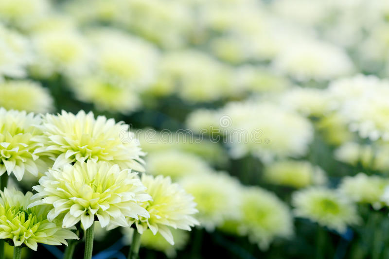 White Chrysanthemum in flower garden agriculture background with soft focus. And have some space for write wording stock photo