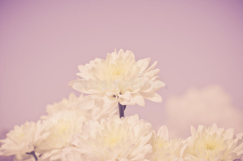 White chrysanthemum flower with old dark pink color filter royalty free stock photos