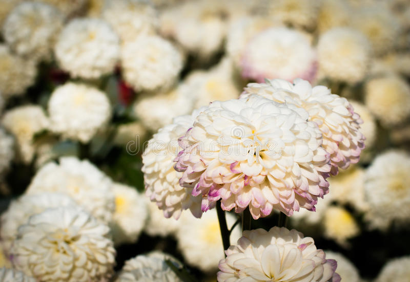 White chrysanthemum flower with old dark yellow color filter royalty free stock photo
