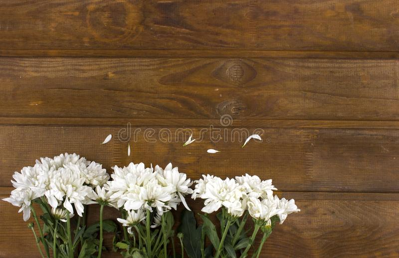 White chrysanthemum flowers on a brown wooden background. Copy space given stock image
