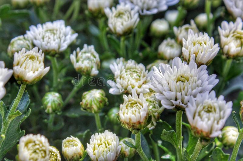 The white  chrysanthemum flowers in the garden. stock images