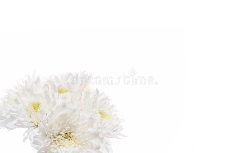 White chrysanthemum flowers isolated. On white background stock images