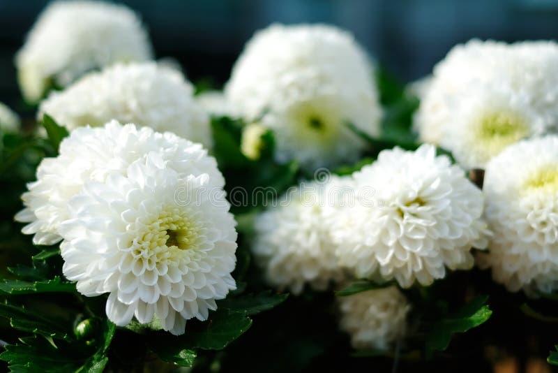 White Chrysanthemum stock images