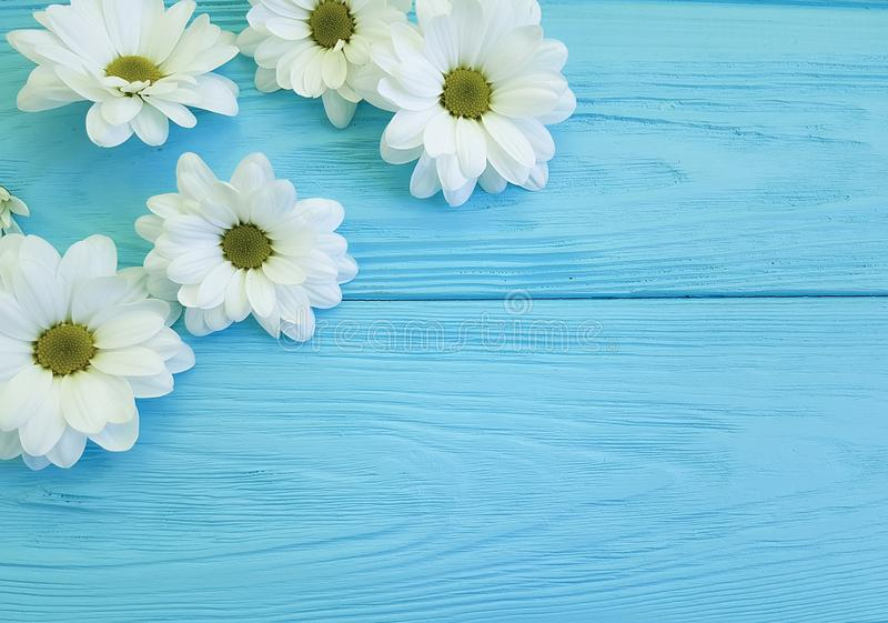 White chrysanthemum head birthday bloom on blue wooden floral stock images