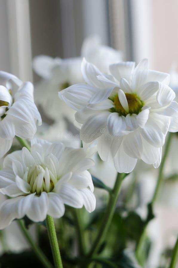 White chrysanthemum macro royalty free stock photo