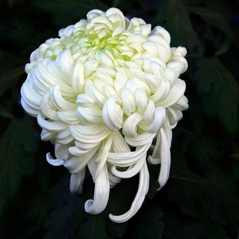 White Chrysanthemum. Taken with a micro len royalty free stock photography