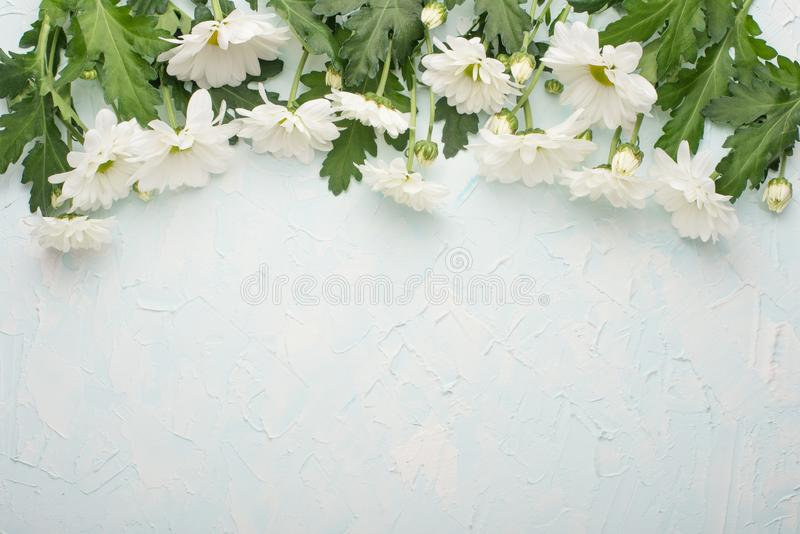 White chrysanthemums on a wooden background, top view, with empty space for writing or advertising royalty free stock photos