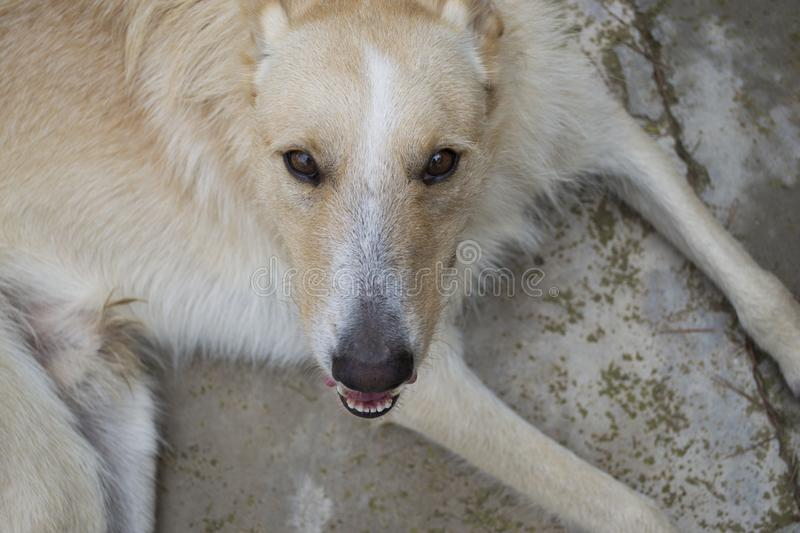 White and cinnamon wolf dog close up portrait while smiling stock image