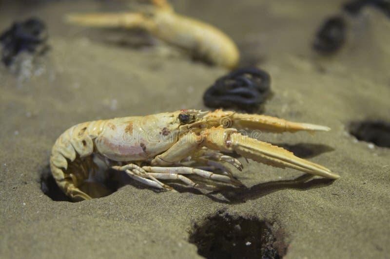 White-clawed Crayfish Stock Image