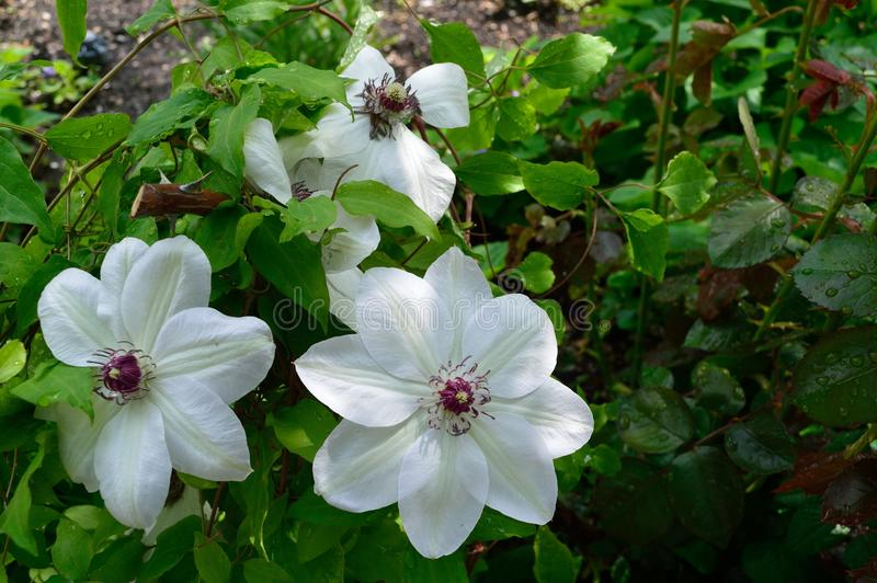 Download White Clematis With Curly Purple Stamens Stock Photo - Image of thetinyphotographer, clematis: 105345602
