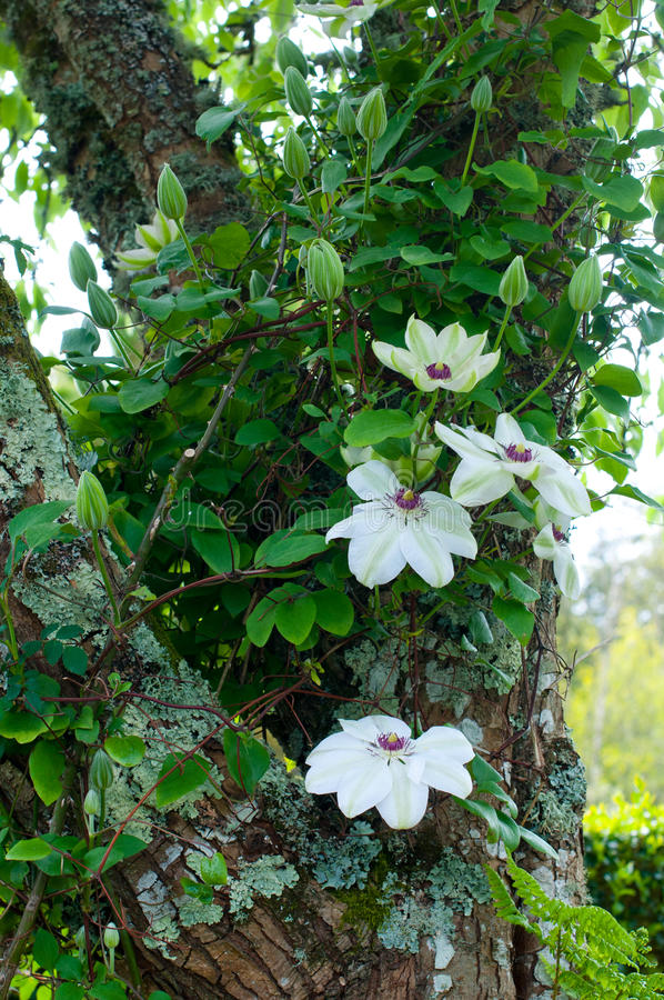 White Clematis, Miss Bateman stock photo
