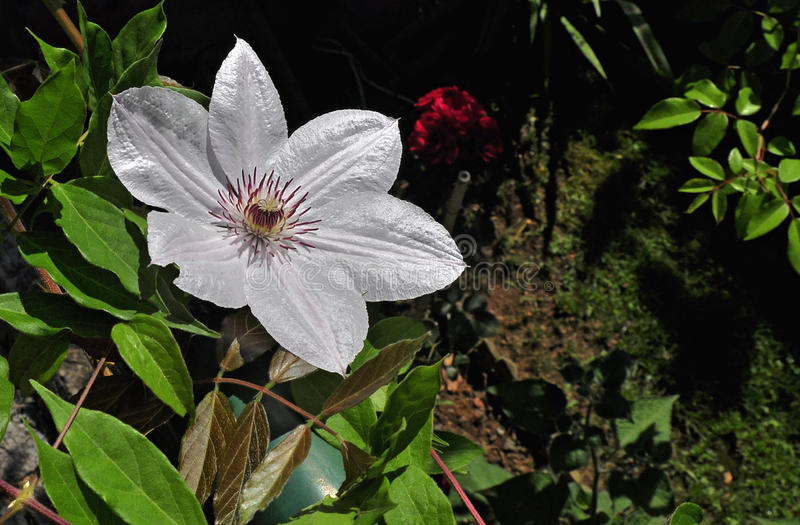 White clematis. Clematis is one of the most popular garden plants and no wonder; this versatile plant can be grown on walls, pergolas, frames, in containers, or royalty free stock photos