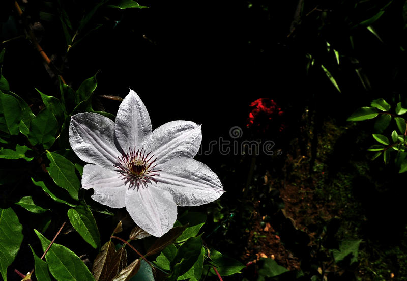 White clematis. Clematis is one of the most popular garden plants and no wonder; this versatile plant can be grown on walls, pergolas, frames, in containers, or royalty free stock image