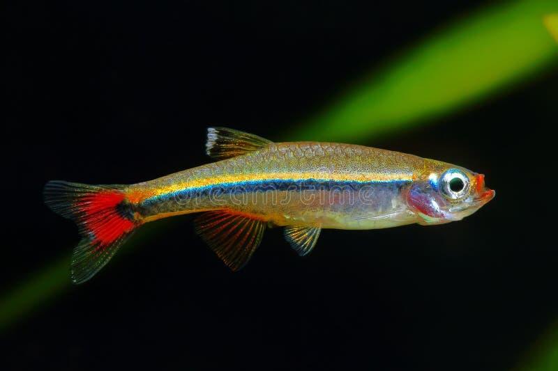 White Cloud Mountain minnow. Fish in the aquarium stock images