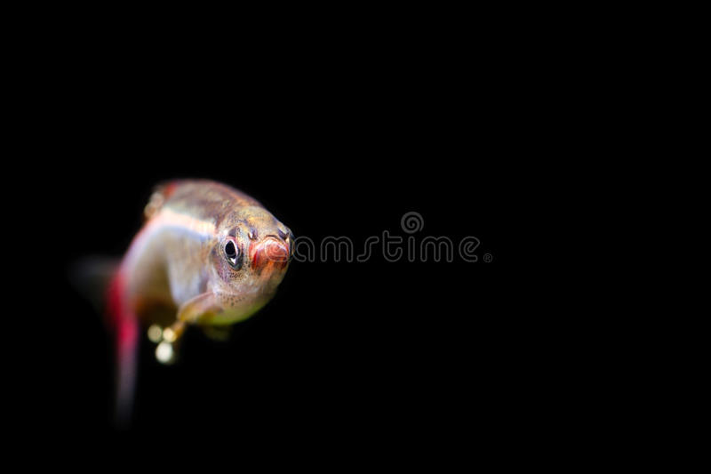 White Cloud Mountain minnow. Full face aquarium fish photo. Shallow depth of field. black background. macro view, soft stock images