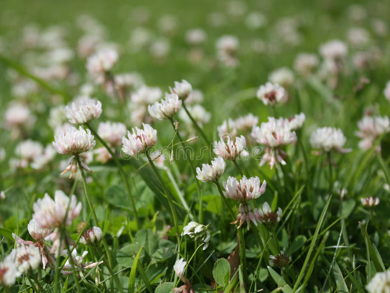 White clover. On the green summer meadow royalty free stock photography