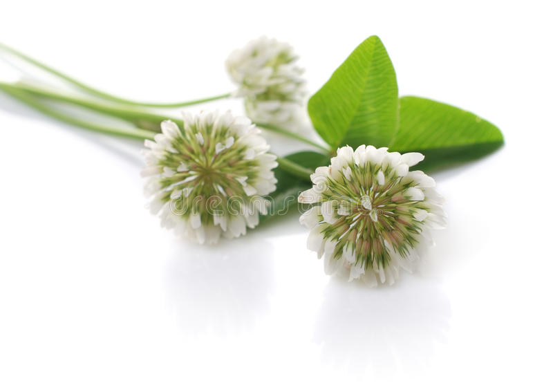 White clover. Tree flowers of White clover. Isolated over white royalty free stock photography