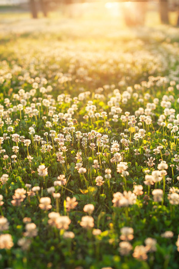 White clover. On the field stock photography