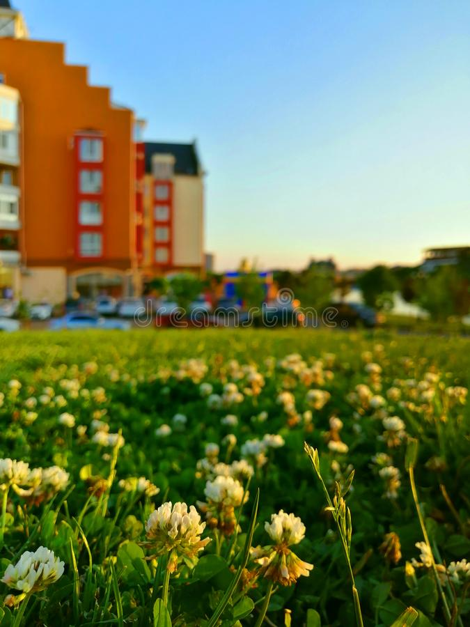 White clover on the background of colorful houses. White clover in the foreground and against the background of colorful houses and the sky at sunset stock photo