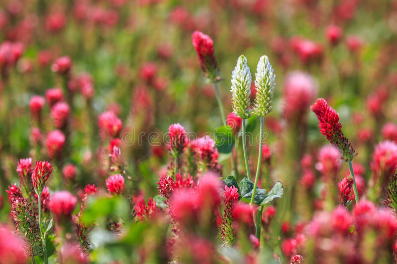White clover blossoms among the red blossoms. White clover blossoms stand out among the field of red blossoms royalty free stock image