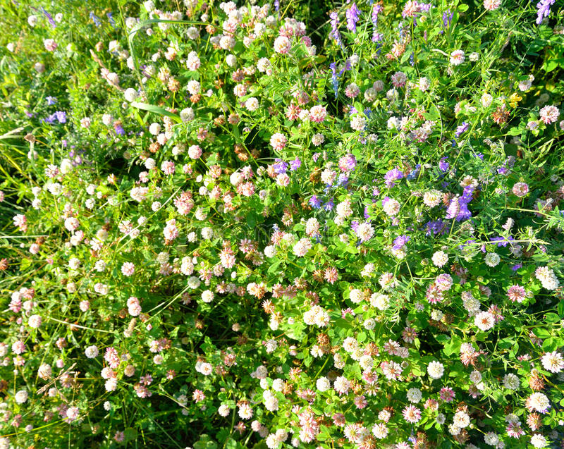 White clover close up. stock image