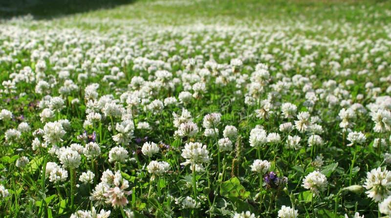 White clover field. Dense white clover flower mat growing on green summer field stock photography