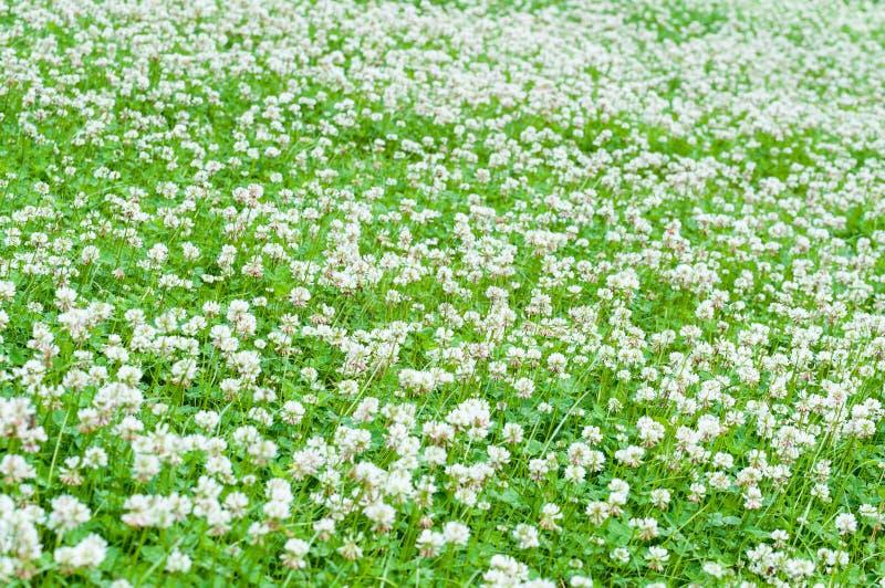 White clover field stock image