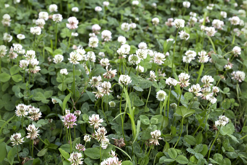White clover field royalty free stock images