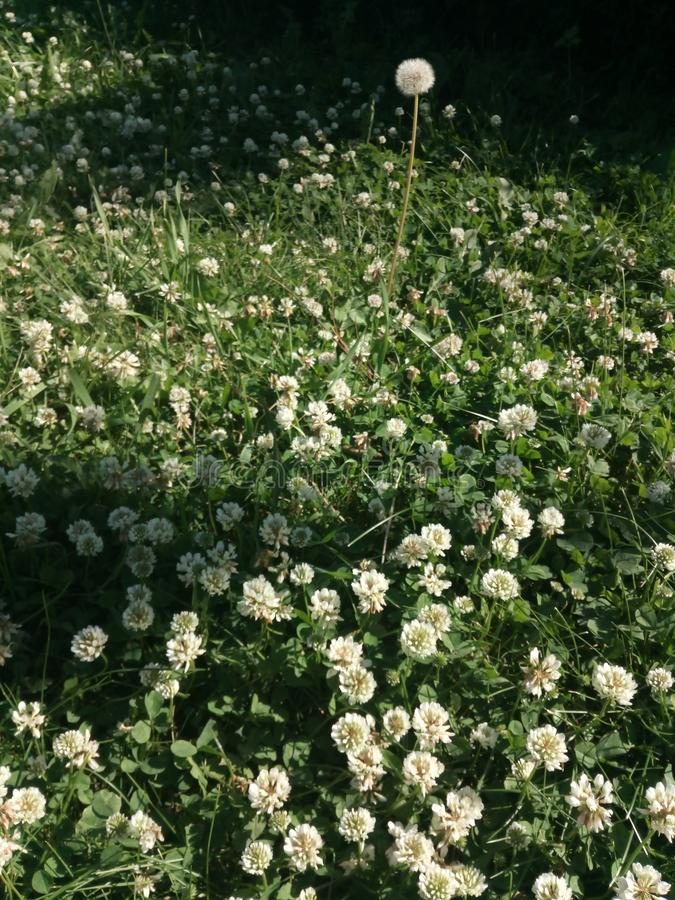 White clover flower platnation. Close up photo. Bacground, wild, uncultivated, grass stock photography