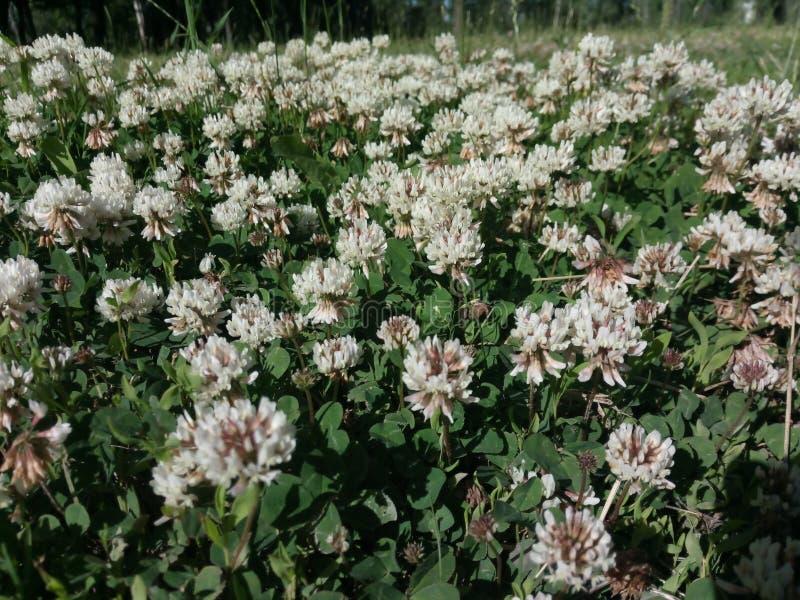 White clover flower platnation. Macro photo. Background, wildflower, park royalty free stock image