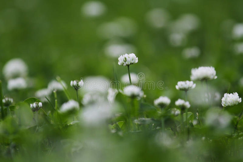 White clover flowers. On a green field stock images